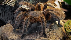 The world's largest spiders