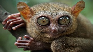 The smallest primate on the planet