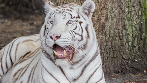 Kenny, the tiger with Down syndrome