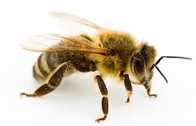 Bees and the danger of extinction