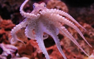 The octopus, the first alien animal?