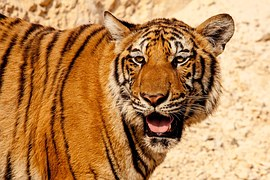 Curiosities and things you didn't know about the tiger